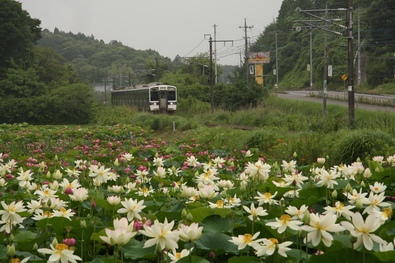 手越の蓮の花